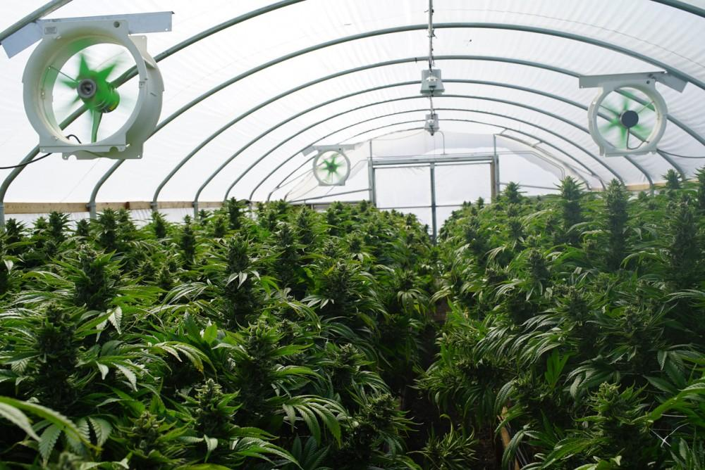 Large Legal Marijuana Farm Professional Commercial Grade Greenhouse Filled With Mature Budding Cannabis Indica Plants